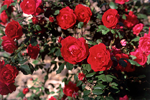 玫瑰精油的多种用法