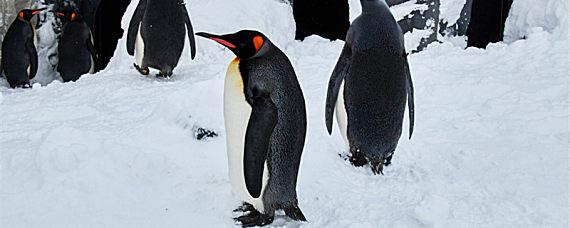 企鹅为什么不怕冷