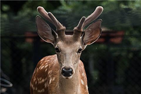 干鹿筋需要泡发后烹饪,干鹿筋的泡法方法