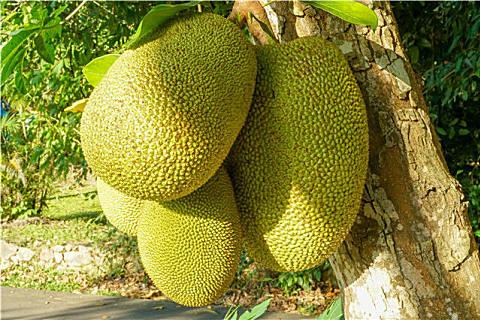 菠萝蜜和榴莲的区别
