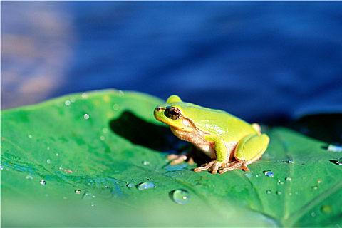 牛蛙的营养美味做法