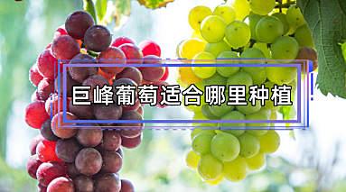 巨峰葡萄适合哪里种植