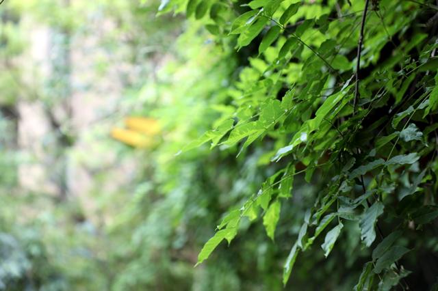 三七的功效_三七的滋补功效_三七的使用禁忌